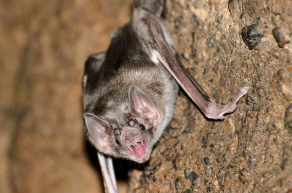 Vampire Bats Now Feasting On Humans - Spur Magazine