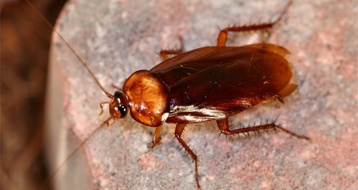 Live Cockroach Pulled from Woman's Skull - Spur Magazine